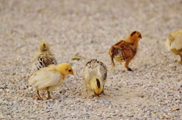 white and yellow chicks on pebble covered ground