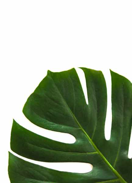 close up photo of swiss cheese leaf