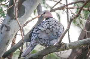 gray dove perching on tree branch