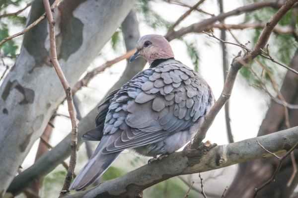 gray dove perching on tree branch