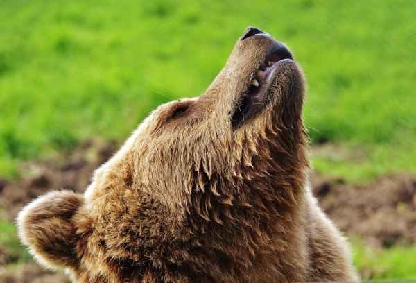 brown bear lying on green lawn grass