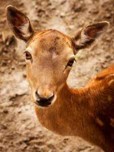close up photography of brown deer during daytime