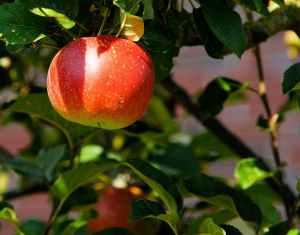 red apple sweet fruit