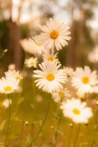 summer vintage flower daisy