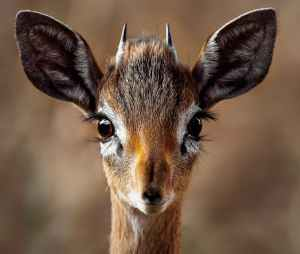 close up portrait of a antelope