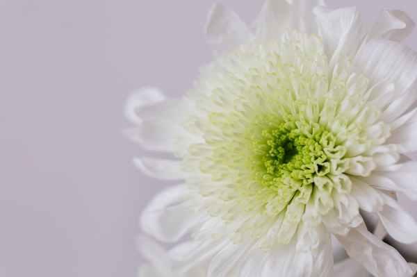 white chrysanthemum flower on white surface